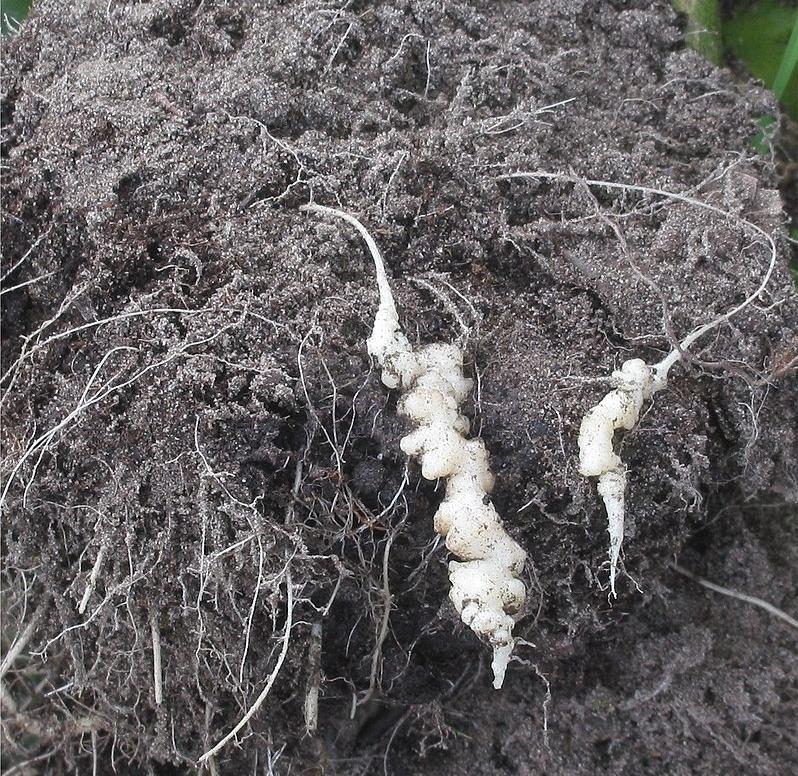 ziemia pod uprawę warzyw kiła kapusty
