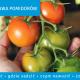 Jak uprawiać pomidory na działce i w ogrodzie?