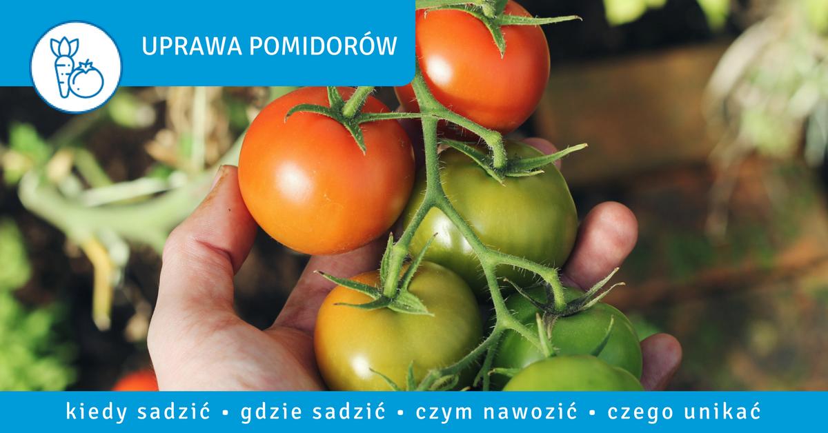 Jak uprawiać pomidory - nawozenie-pomidorow-ziemia-pod-pomidory