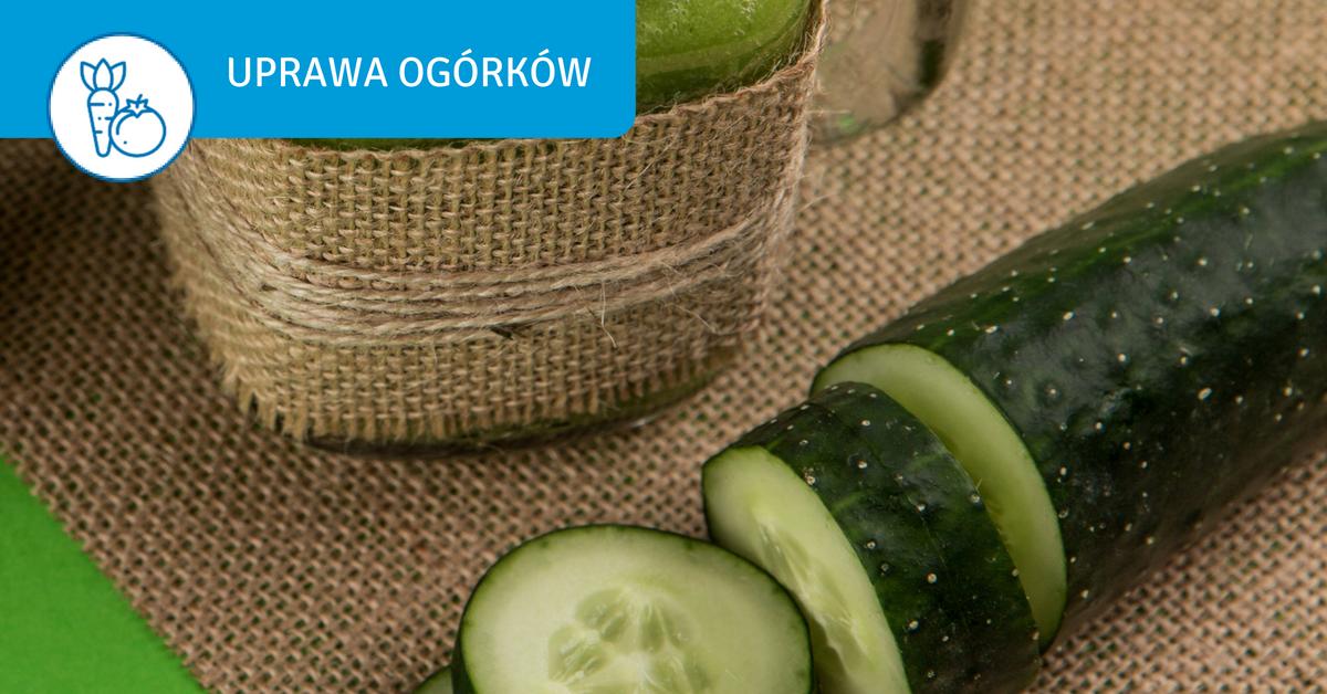 uprawa-ogorkow-w-ogrodzie