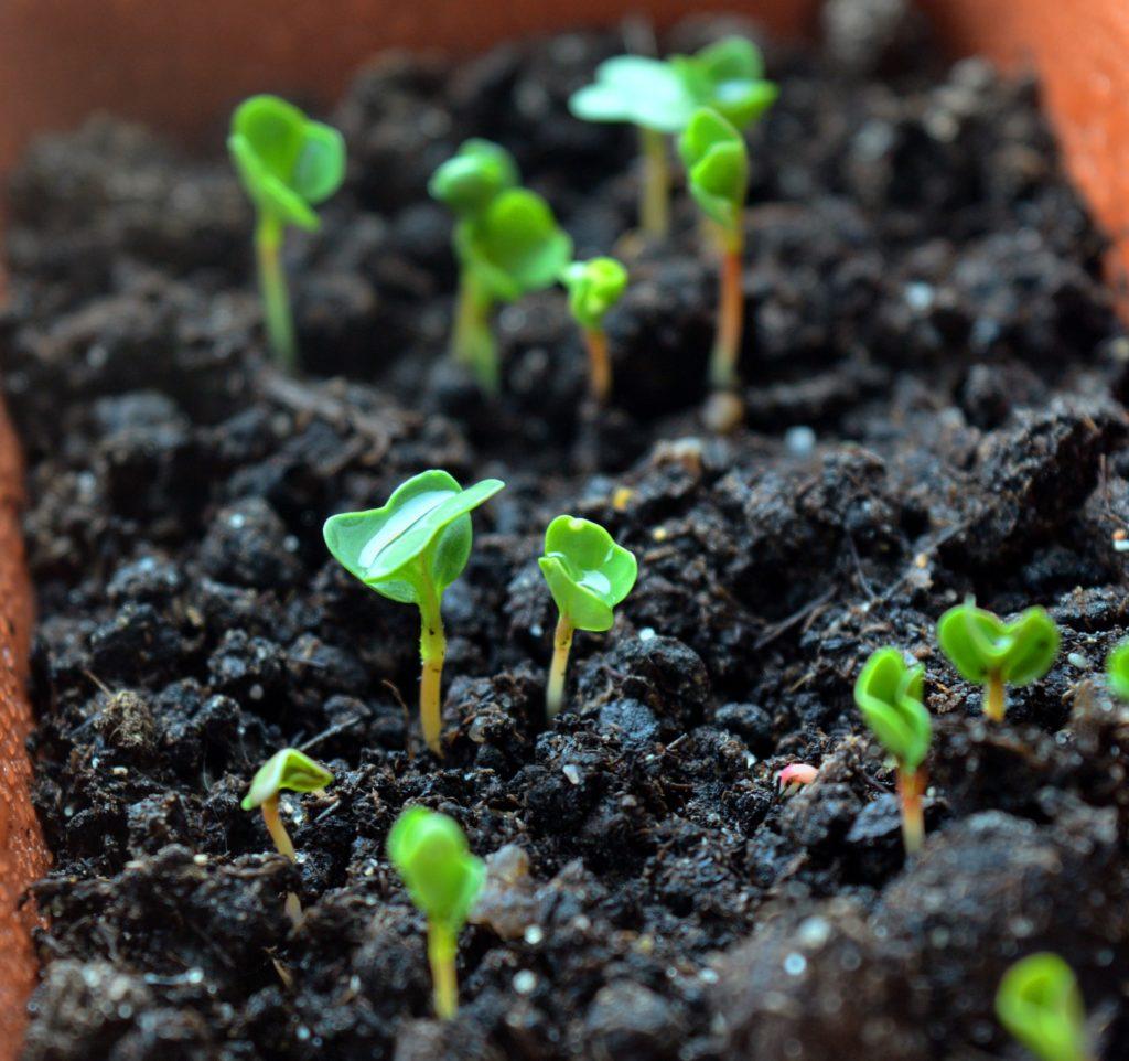 rozsada-warzyw-na-parapecie-kiełki